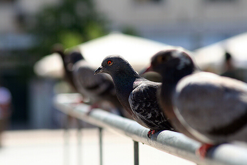 Pombos são uma praga urbana preocupante