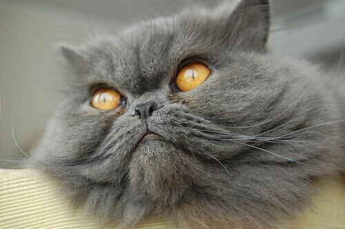 Quais são as raças de gato mais populares