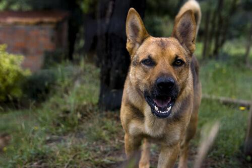 Saiba mais sobre os efeitos da raiva nos cachorros
