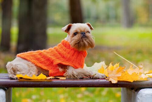 Cachorro com suéter laranja