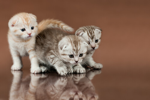 Filhotes de Scottish fold