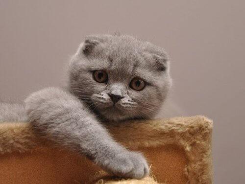 Scottish fold: um gato fofo e educado