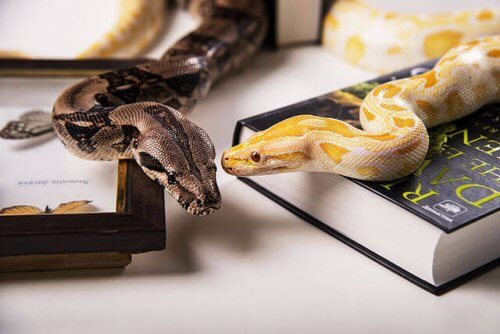 Cobras de estimação