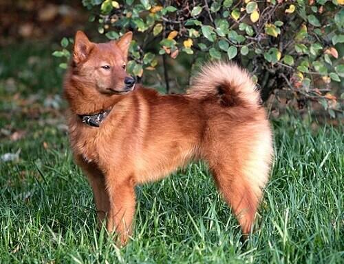 Spitz finlandês: um cão elegante