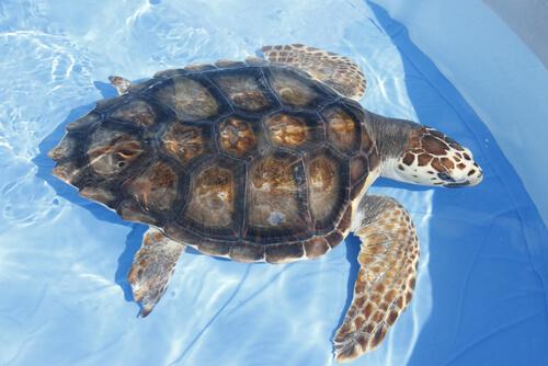 Tartaruga na piscina