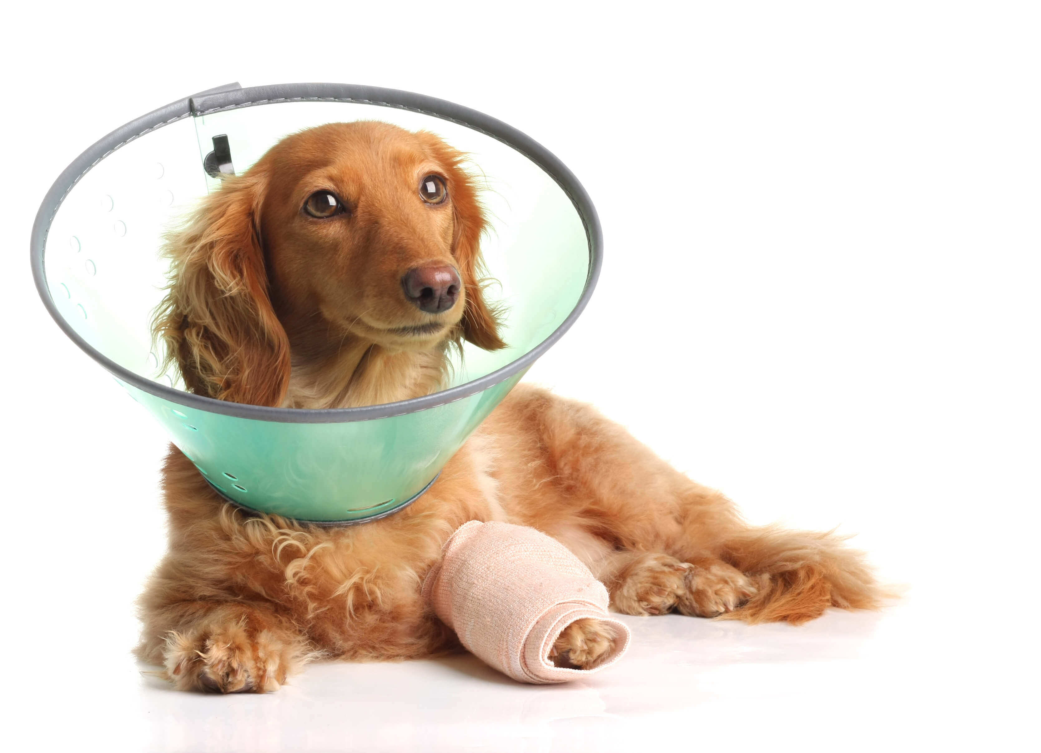Cachorro com pata enfaixada e colar elizabetano