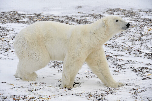 Você conhece quantas espécies de ursos?