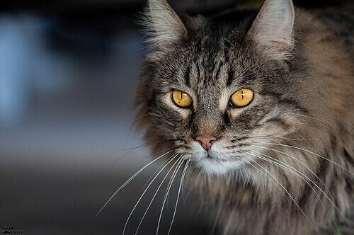 Gato trigado