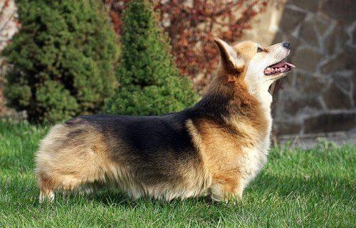 Welsh corgi pembroke, um cão inteligente