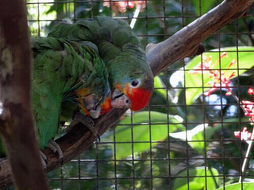 Reprodução do papagaio doméstico