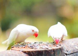 Pássaros comendo sementes de girassol
