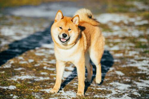 Conheça algumas raças de cães de neve: Akita Inu
