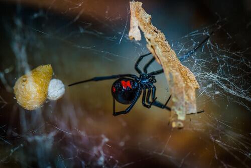 Aranha fazendo teia