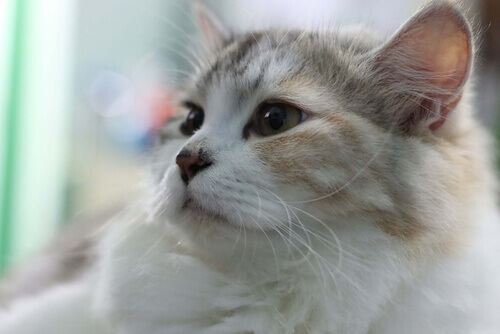 Asma felina: o que fazer se seu gato tosse?