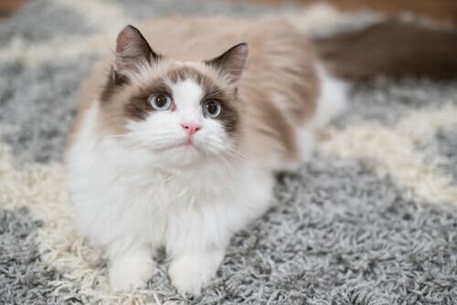 Asma felina: como atuar