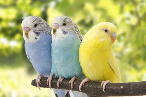 Espécies de pássaros falantes