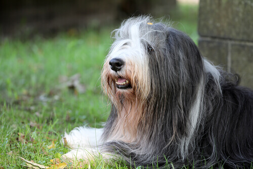 Bearded collie: conheça essa raça canina