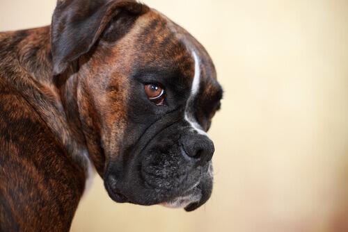 Cachorro de pelo escuro