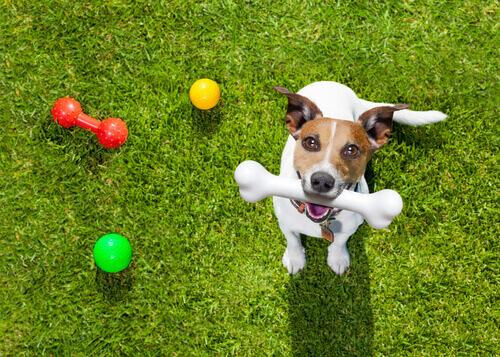 Cachorro com brinquedos e osso na boca