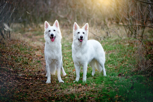 Por que uma cadela monta outra cadela?