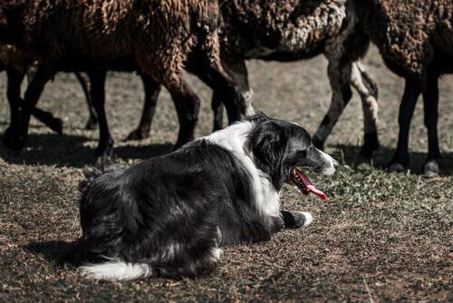 Border Collie: um cão pastor