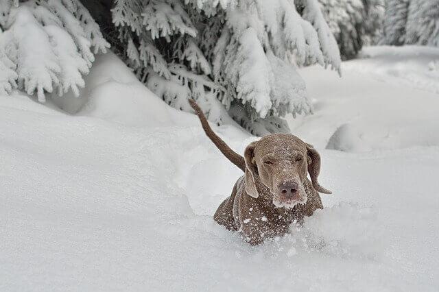 Cães de neve: conheça as 10 raças mais famosas