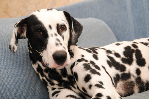 O câncer de pele em cães