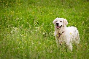 Cachorro no campo