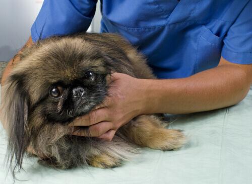 Cachorro sendo examinado pelo veterinário