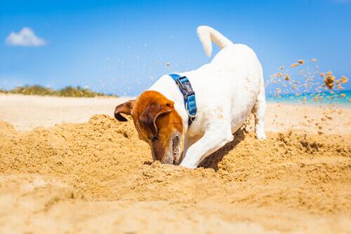 Cão cavando: um comportamento instintivo