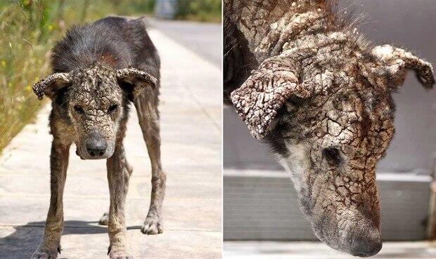 cão com sarna extrema