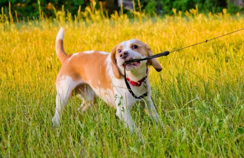 Cachorro puxando a coleira