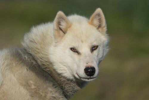 Cão da Groenlândia: conheça essa raça resistente