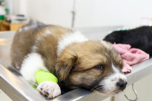 cão doente e triste no veterinário