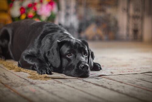 Meu cão sofreu um acidente: o que fazer?