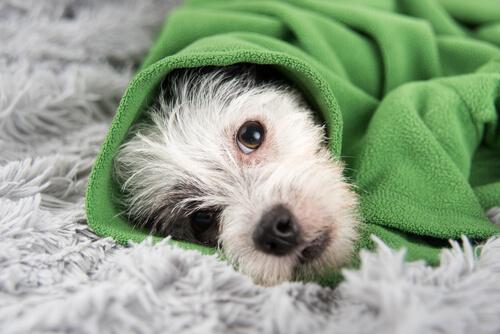 Cachorro deitado enrolado em uma manta verde