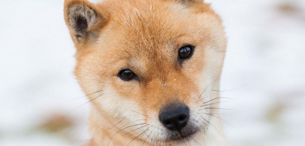 Cachorro Hokkaido