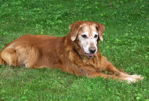 Câncer de próstata em cães idosos
