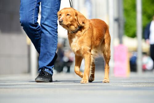 Cachorro passeando com o dono