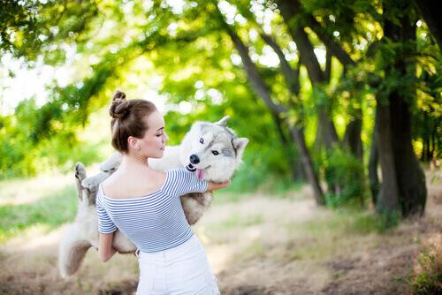 Husky siberiano no colo da dona