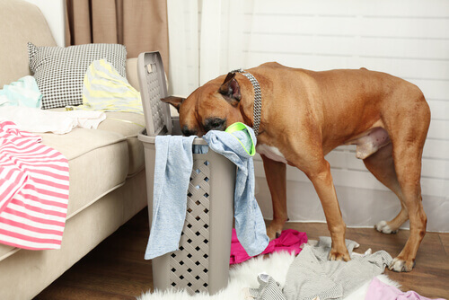 Cachorro fuçando cesto de roupas