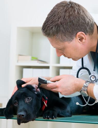 Veterinário examinando ouvido de um cão