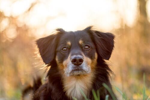cão olhando para frente