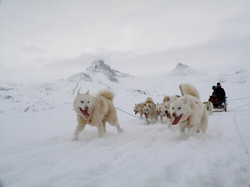 Saiba mais sobre o cão da Groenlândia