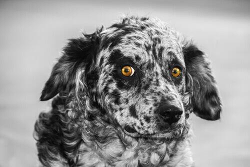 Carea leonés: conheça essa raça canina adorável