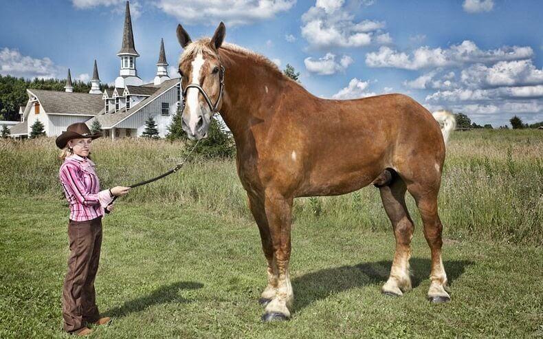 Cavalo belga de tração