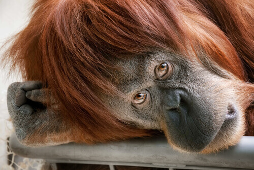 chimpanzé inteligência emocional