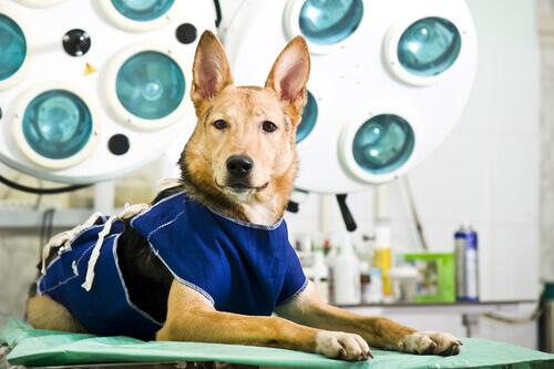 Cachorro na sala de cirurgia