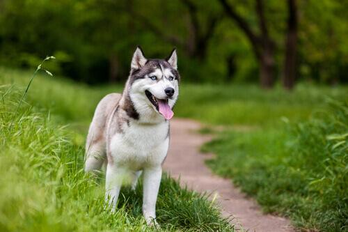 Como é a cirurgia de catarata em cães?