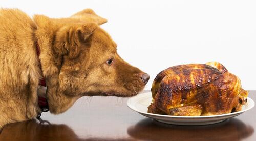 Cachorro cheirando frango assado